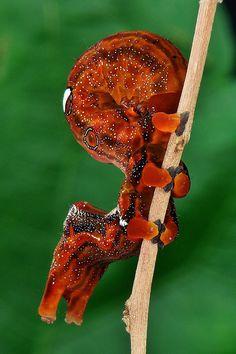 Fruit Sucking Moth Caterpillar (Othreis fullonia)