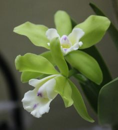 Live Flowering Cattleya Orchid Plant - One Plant in Orchid Pot - CO-002