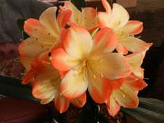"""Clivia Miniata """"Victory"""" Perennials, Beautiful Flowers, Bloom, Giant Flowers, Rose, Bulbs, Floral, Spain, Pictures"""