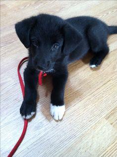 8 week old black lab/ German Shepard mix puppy. sooo cute! :)