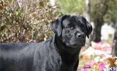 English Blockhead Labrador Retrievers   ... labrador with free online dictionary with smithfield english labrador