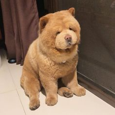 Dog that looks like a cuddly teddy bear and wins the internet with his big snout and fluffy cheeks Cute Little Animals, Cute Funny Animals, Funny Dogs, Funny Puppies, Funny Animal Videos, Funny Animal Pictures, Dog Videos, Videos Funny, Cute Dogs And Puppies