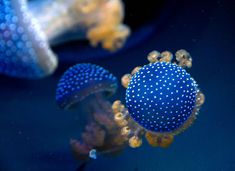 White spotted jellyfish from Australia