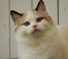 Ragdolls cats     Alice