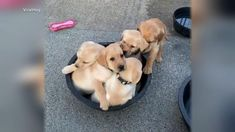 Adorable puppies try to fit in tiny bucket Video - ABC News Cute Baby Dogs, Adorable Puppies, Cute Babies, Funny Dog Pictures, Animal Pictures, Top Dog Breeds, Retriever Puppy, Take A Nap, Dog Care