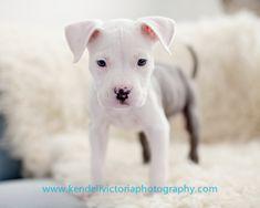 tiny pit bull puppy #saveabullrescue