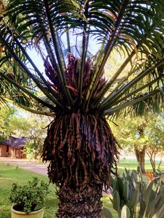 Copyright By Nkahloleng Eric Mohlala Copyright ©️ 2021 By Eric Nkahloleng Mohlala, www.mohlalaads.co.za Sago Palm, Brother From Another Mother, Palm Plant, Big Family, Two By Two, Gardening, History, Plants, Historia