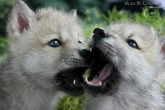 Wolf cubs, so cute!