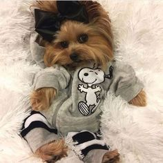 The Popular Pet and Lap Dog: Yorkshire Terrier - Champion Dogs Yorkies, Yorkie Puppy, Teacup Yorkie, Havanese Dogs, Teacup Puppies, Cute Funny Animals, Cute Baby Animals, Top Dog Breeds, Yorkshire Terrier Puppies