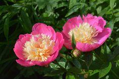 Ball of beauty pionit | Vesan viherpiperryskuvat – puutarha kukkii