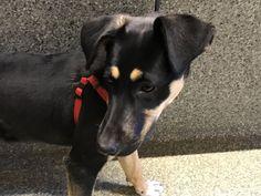 German Shepherd Dog dog for Adoption in pomona, CA. ADN-749025 on PuppyFinder.com Gender: Female. Age: Young