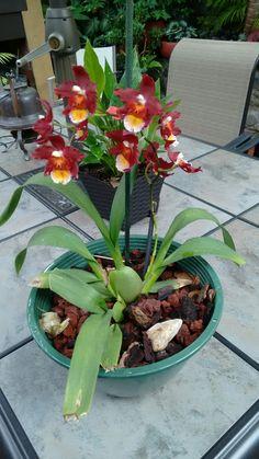 Compartiendo con ustedes mi orquídea miltonia Nolys.