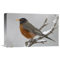 Global Gallery American Robin Perching in Snow Storm North America Wall Art - GCS-396378-1218-142
