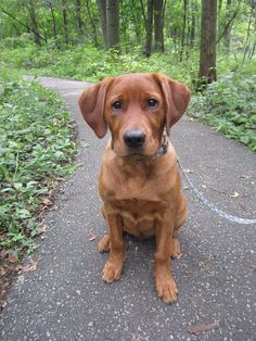 my fox red lab named keegan.. he's my everything. <3