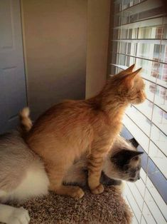 Looking out the window with a pal. Cats That Dont Shed, Animals And Pets, Cute Animals, Cat Info, Raining Cats And Dogs, Cat Fleas, Orange Cats, Cattery, Cat Behavior
