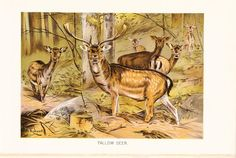 1901 Animal Print  Fallow Deer  Vintage Antique Book by Holcroft, $15.00