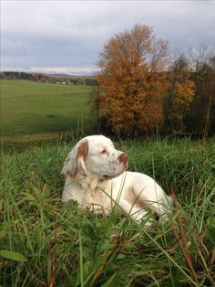 Clumber Spaniel, Spaniels, Unusual Dog Breeds, A Day In Life, Hunting Dogs, My Animal, Wolves, Dog Love, Doggies
