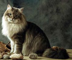 I want one of these. Siberian Cat. Hypo-allergenic! :)