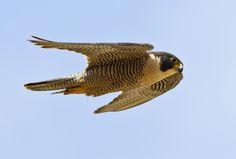 Peregrine Falcon Flight : Birds of Prey, Baja Birds                                                                                                                                                                                 More