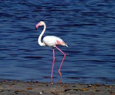 Flamingos in Cagliari: the pink wading. Wild life in town :) Sardinia, Pink Flamingos, Wildlife, Terra, Beach, Landscapes, Italy, Art, Paisajes
