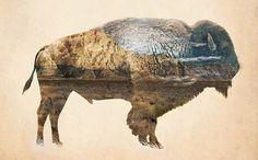 La naturaleza de un Búfalo