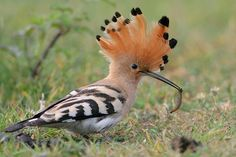 "Europe: Hoopoe While perhaps not ""cute"", this funny-looking little crested bird lives in southern and Eastern Europe, as well as much of Africa and Asia. Keep your eyes peeled if you go on holiday to the Mediterranean! Beautiful Birds, Animals Beautiful, Cute Animals, Beautiful Places, Exotic Birds, Colorful Birds, Cool Pictures, Cool Photos, Amazing Photos"