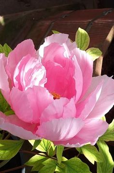 Beautiful Flowers Images, Flower Images, Flower Photos, Pretty Flowers, White Flowers, Peony Painting, Watercolor Flowers, Peony Flower, My Flower