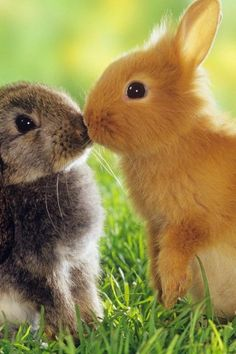 #Rabbits, Love, Cute, Fluffy, Animal, Two rabbits in love