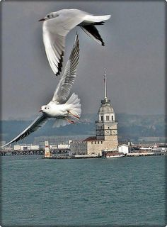 Laughing gulls in Istanbul Hagia Sophia, Places Around The World, Around The Worlds, Most Beautiful Cities, Photos, Pictures, Pet Birds, Wonders Of The World, The Good Place