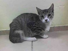 TO BE DESTROYED 8/12/14 **  Sweetie was found as a stray and at the time of the assessment she interacted with the Assessor, solicits attention, is easy to handle and tolerates all petting. ** Brooklyn Center  My name is SWEETIE. My Animal ID # is A1008381. I am a spayed female brn tabby and white domestic sh mix. The shelter thinks I am about 6 YEARS old.  I came in the shelter as a STRAY on 07/28/2014 from NY 11207
