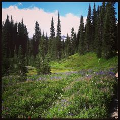Love the wildflowers along the trails at Paradise at Mount Rainier National Park