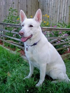 GSD-Maggie // Awww... She looks exactly like my dearly departed Sal. *sniffles*