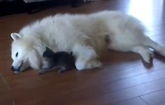 Tiny Kitten is Obsessed With Giant Fuzzy Dog (VIDEO)