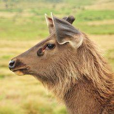 The World's Best Photos by Red River Hog, Sambar Deer, Mouse Deer, Animals Of The World, World Best Photos, Sri Lanka, Mammals, Goats, Funny Animals
