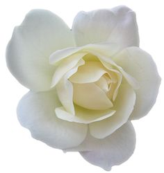white rose | Email This BlogThis! Share to Twitter Share to Facebook Share to ...