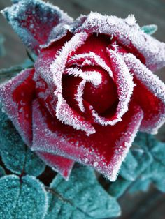 How to Protect Plants from the Cold. If your weather is a bit too cold or your plants are a bit too tender, you'll need to help your garden through the winter. It all depends on how vulnerable the plants are, how cold the weather is, the. Winter Rose, Winter Magic, Frozen Rose, Winter Garden, Beautiful Roses, Land Scape, House Plants, Red Roses, Planting Flowers