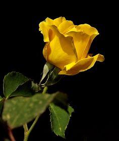 Rosen im Garten.
