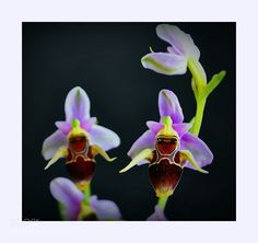 #nature Bee Orchid by alionursal