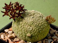 1 fresh Seeds Caudex Cactus Pseudolithos migiurtinus RARE !!