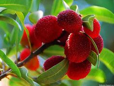 Bayberry fruit images wallpaper