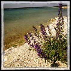 Blueweed at #Furillen #Gotland #Sweden