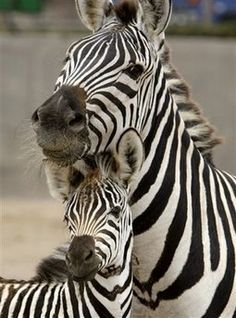 Mama and baby zebra Cute Baby Animals, Animals And Pets, Funny Animals, Beautiful Creatures, Animals Beautiful, Photo Animaliere, Yorky, Baby Zebra, Foto Art