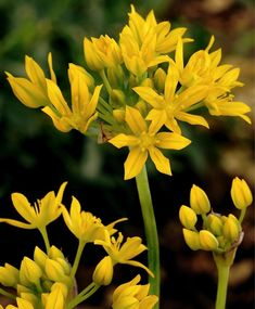 "Allium moly Jeannine--An improved selection over A. moly, moly Jeannine has two stems of 2"" umbels of bright yellow, star-shaped florets."