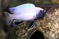 Pseudotropheus Polit Lions Cove, Pseudotropheus is a genus of rock dwelling (Mbuna) cichlids found in Lake Malawi