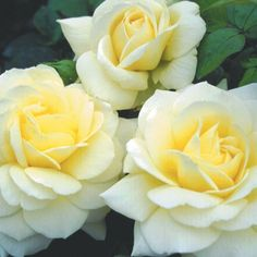 """Good Ol' Summertime""™ - Soft, warm yellow petals of the semi-double 4"" blooms (petals 35) open to show intense yellow centers having a spicy/myrrh fragrance. Mid-green foliage covers the continual blooming plant"