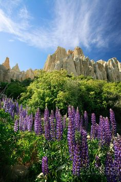 Lupins in full bloom below the Clay Cliffs at Omarama in the Mackenzie Country - top of the Waitaki Valley, south island New Zealand. The Beautiful Country, Beautiful Places, New Zealand Landscape, New Zealand South Island, Nature Pictures, Monument Valley, The Good Place, Scenery, Places To Visit