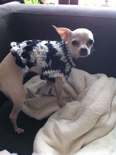 Cute Crochet! 10 Adorable Animals Dressed in Crochet: Chihuahua in a Crochet Sweater