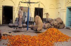Genda/Marigold: India's Golden Garland Flower