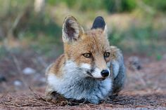 Red Fox by Pierangelo Spedini on 500px
