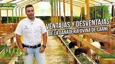 Ventajas y Desventajas de la Ganadería Ovina de Carne - Corderos - TvAgr...